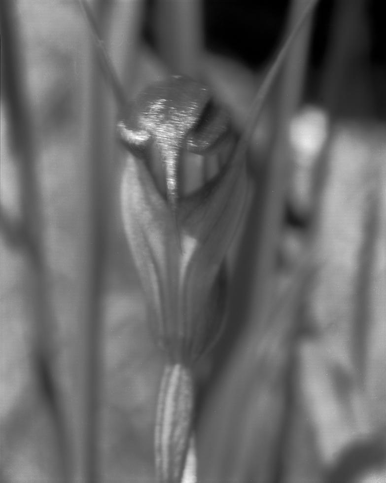 Pterostylis