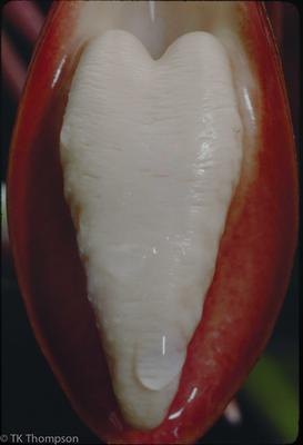 Catasetum tabulare (lip detail)