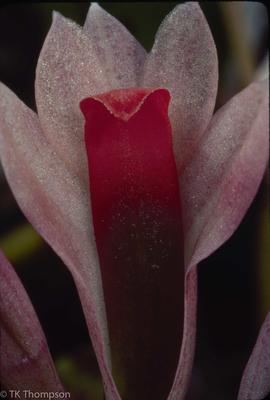 Dendrobium quinquecostatum