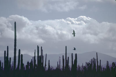 Crows Over Saguaro, New Mexico