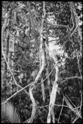 Fractal Forest 4, Mt. Kinabalu, Sabah, Borneo