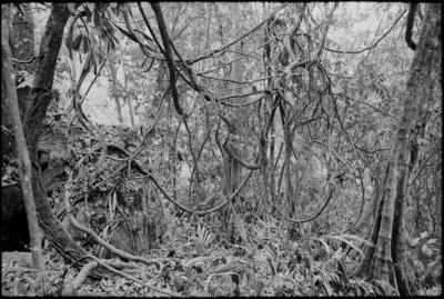 Fractal Forest 6, Kinabalu trail, Sabah, Borneo