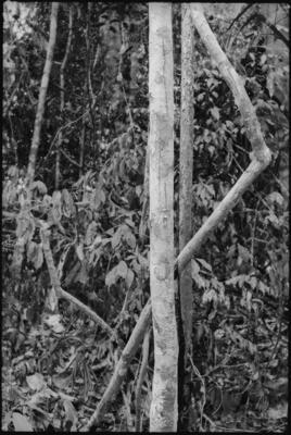 Fractal Forest 10, Sabah, Borneo