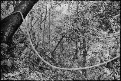 Fractal Forest 13, Outside of Kuching,Sarawak, Borneo