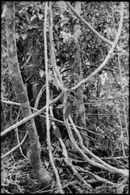Fractal Forest 17, Mt. Kinabalu , Sabah, Borneo