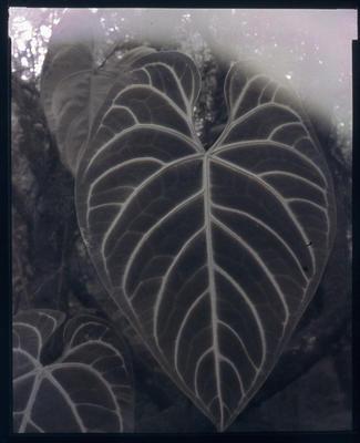 Anthurium Regal