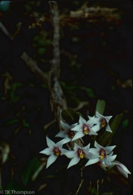 Maxillaria in situ, Costa Rica