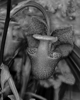 Coryanthes elegantula