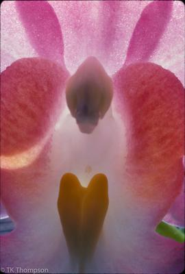 Orchid species (lip & column abstract)