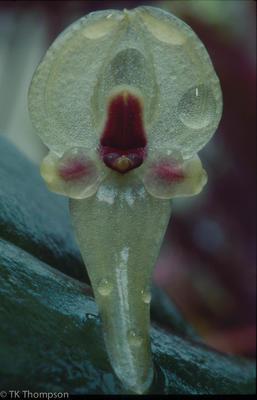 Pleurothallis scurrula